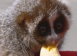 Slow Loris, Borneo - close-up | by One more shot Rog