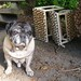 Pug With Discarded Pet Staircase WIth Paw Prints