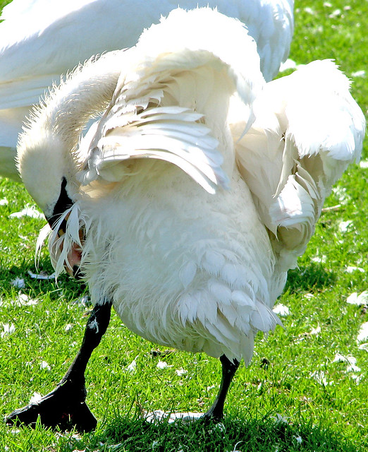 Ruffled feathers | A swan having a right old good preen ... Ruffled Feathers