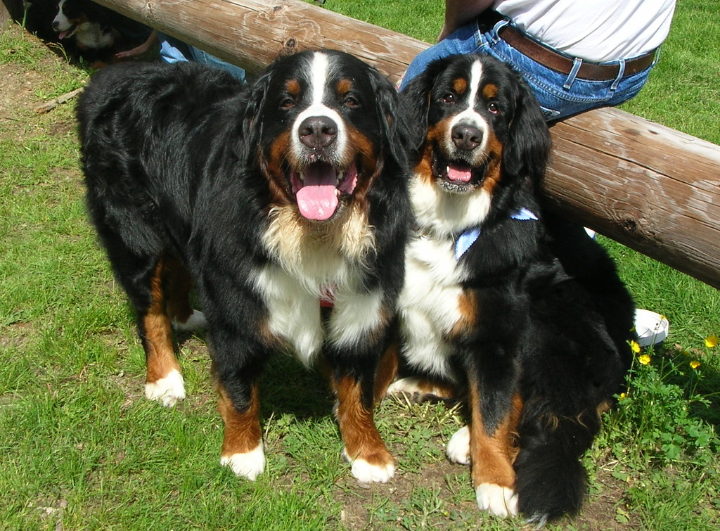 Bernese Mountain Dogs Puppies For Sale In Western Ny