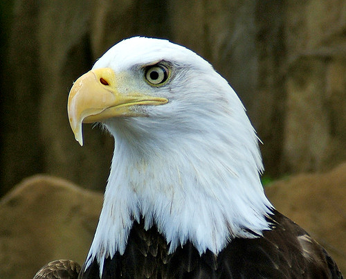 Bald Eagle - 3 | by shesnuckinfuts