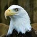 Bald Eagle - 3