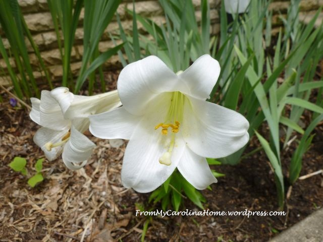 Easter Lily ~ From My Carolina Home