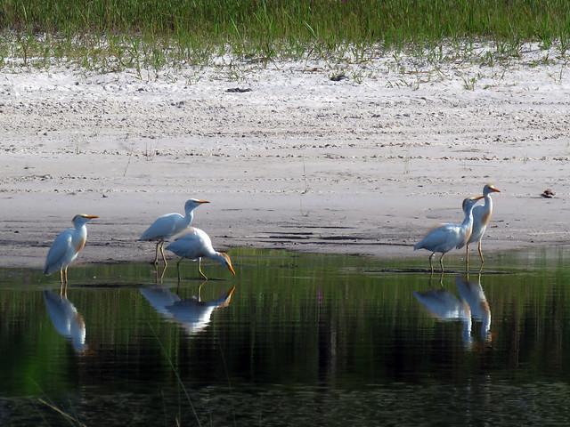 Cattle Egrets (Bubulcus ibis)
