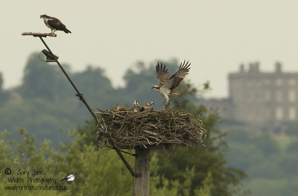 The nest in Manton Bay on Rutland Water