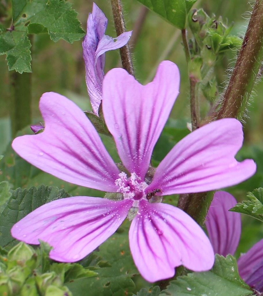 Mauve Fleur Sauvage Flower 43800 Flickr