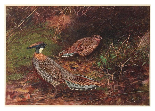007-A monograph of the pheasants-1918-tomo 3