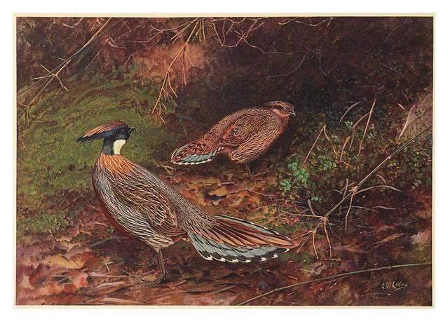 007-A monograph of the pheasants-1918-tomo 3
