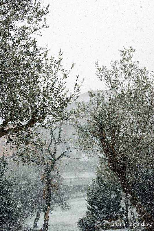 Оливы во время снегопада