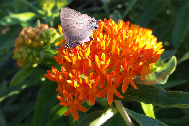 gray butterfly on bright orange butterfly weed