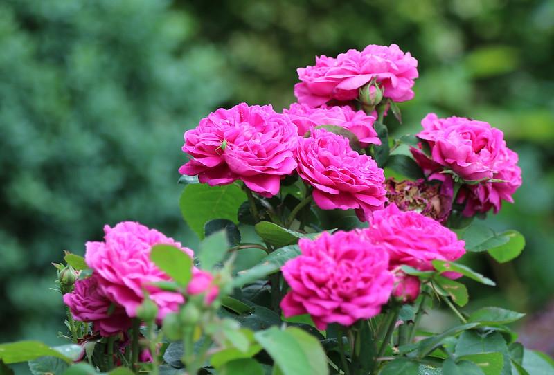 Портландские розы 'Rose de Rescht', фото фотография красивые цветы