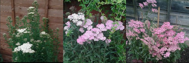 The 3 Yarrow plants I have in my garden