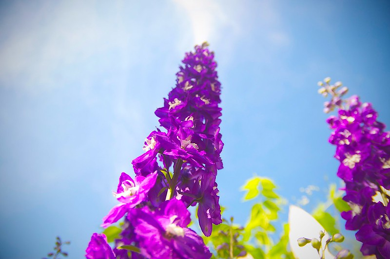 168/365. delphinium stretching to the sun.