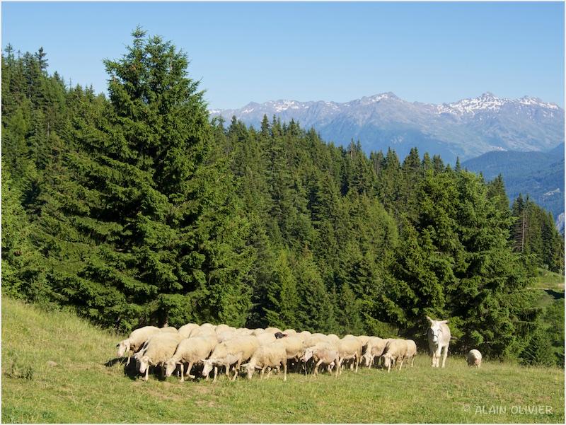 Sortie dominicale vers les alpages 19053032978_d1a149e872_c
