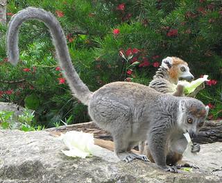 Lemur pair