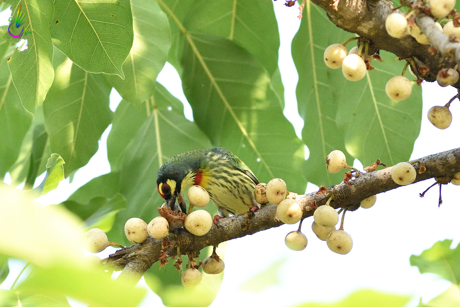 Coppersmith_Barbet_5810