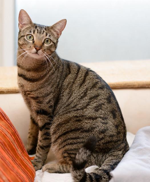 Tigris, gatita atigrada parda de ojazos verdes y cara redondita, tímida y sumisa esterilizada, nacida en Septiembre´15, en adopción. Valencia. ADOPTADA. 32689942126_e48dfbfebd_z