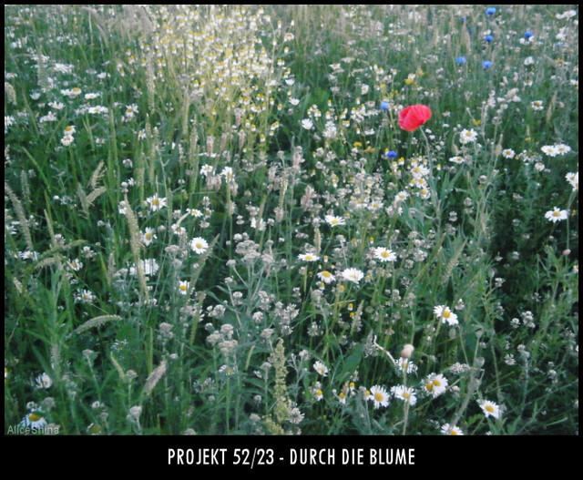 Projekt 52/23 - Durch die Blume