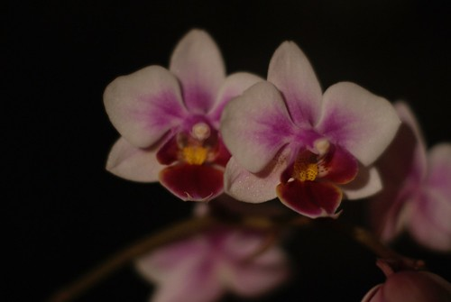 Small Orchids | by susanvg