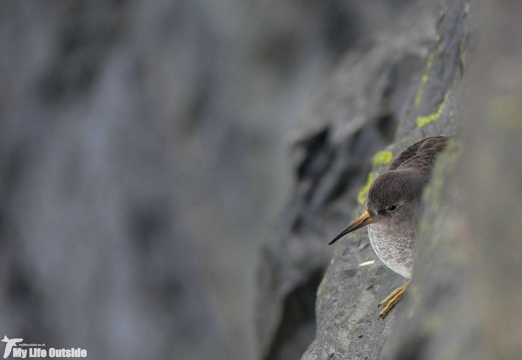 P1060375 - Purple Sandpiper, Aberystwyth