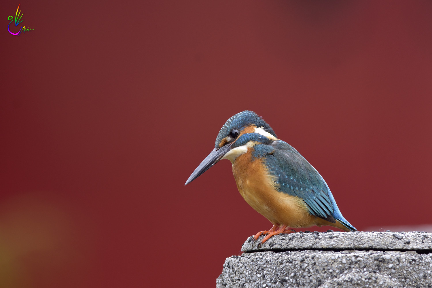 Common_Kingfisher_1199