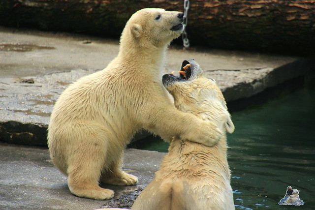 Eisbär Fiete im Zoo Rostock  109