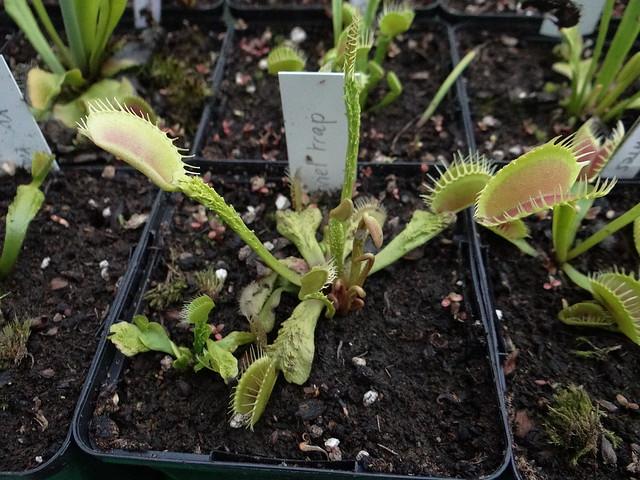 Dionaea muscipula 'Trichterfalle'