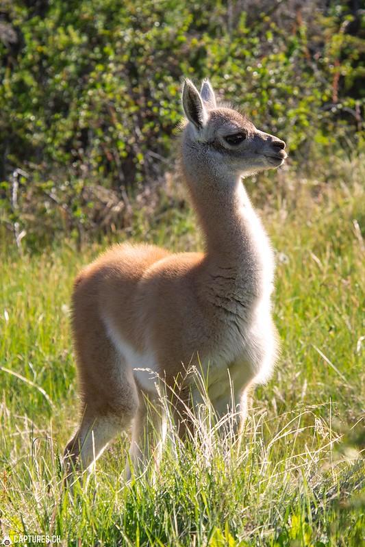 Baby Guanaco - Parque Patagonia