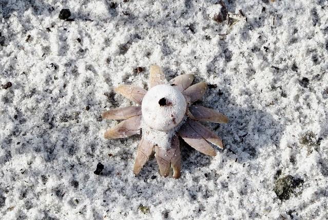 Diplocystaceae Family --  Earthstar mushroom 5615