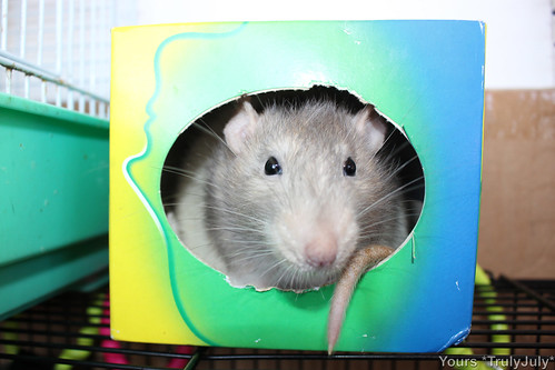 Pet rat boy Ratatouille fits snugly into the tissue box.