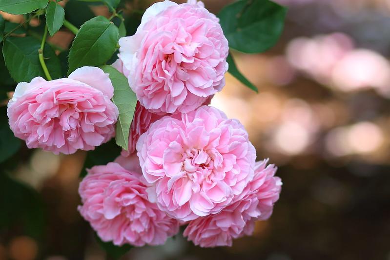Rose:メアリーローズ