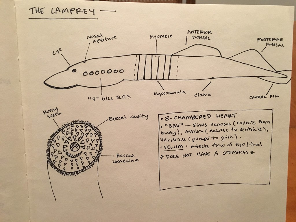 Lamprey External Anatomy | I drew the important external lam… | Flickr