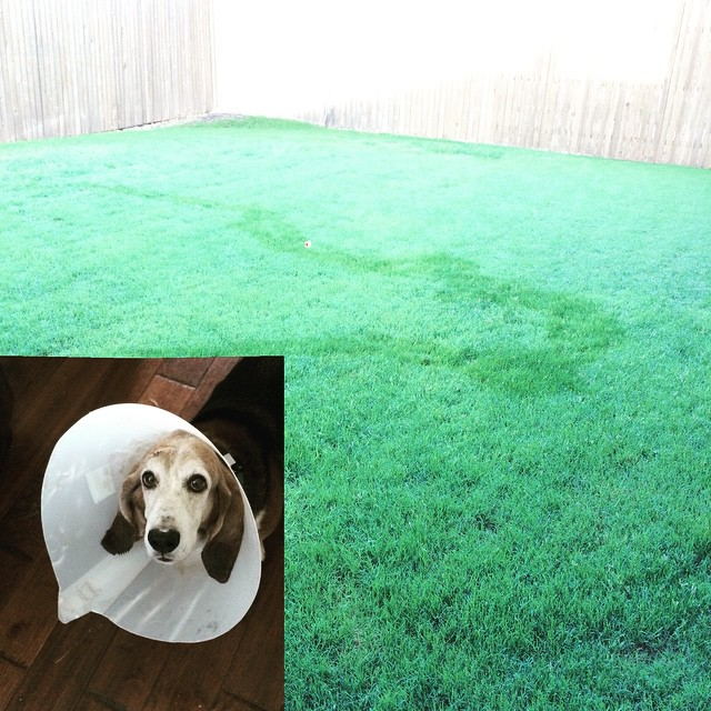 Just in case you've never seen the trail a Basset Hound leaves in the morning dew....