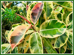 Macro of Ficus elastica 'Variegata' (Variegated Indian Rubber Tree/Fig, Variegated Rubber Fig/Tree, Variegated Rubber Plant/Bush) captivating foliage, Nov 16 2013