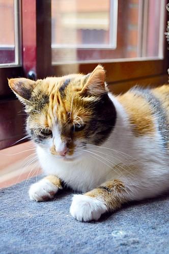 Jaspe, maravillosa tricolor de ojos cobrizos esterilizada nacida en Abril´11, necesita adopción. Valencia. ADOPTADA.  19832705992_47b8c28c34