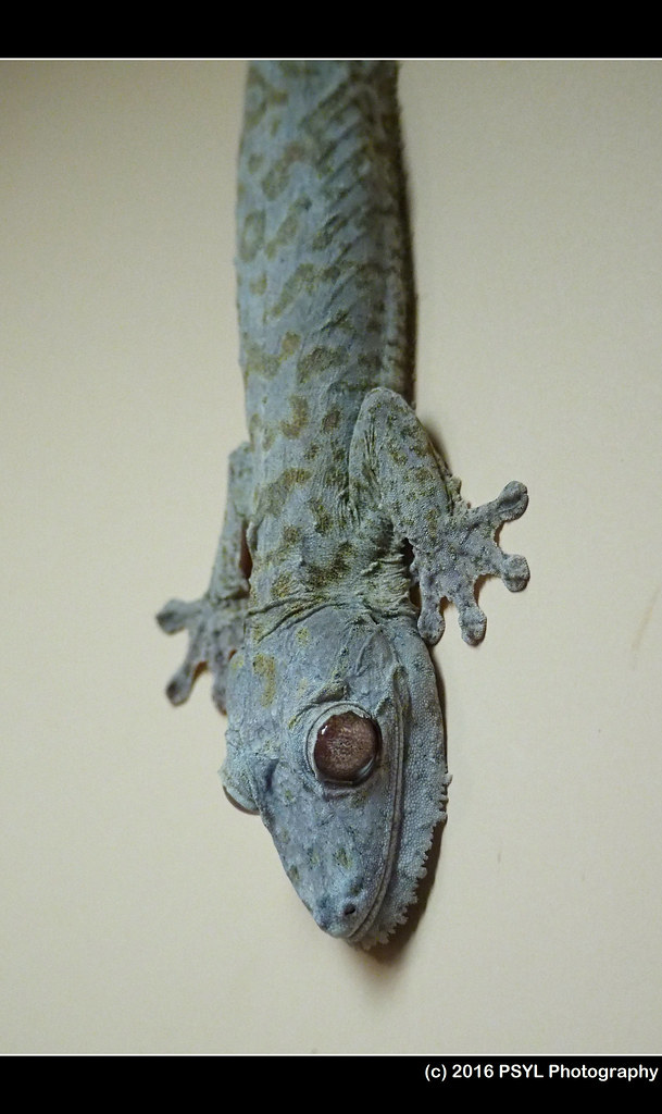 Frilled leaf-tailed gecko (Uroplatus henkeli)