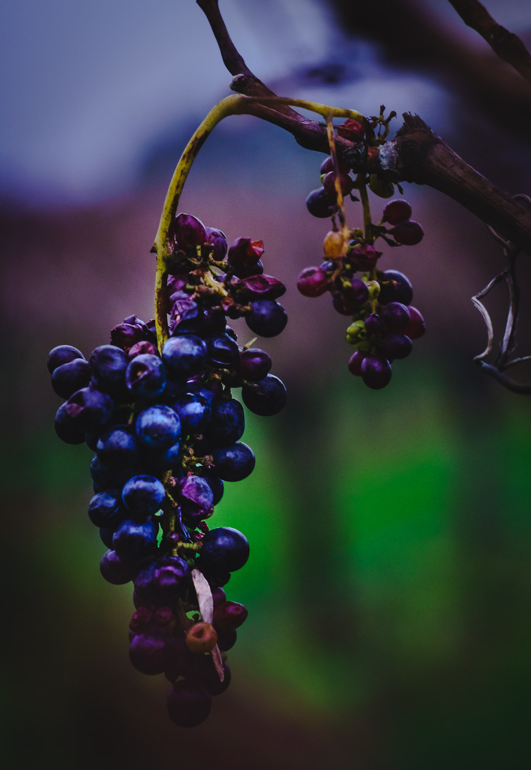 Grapes in season, South Australia wine country