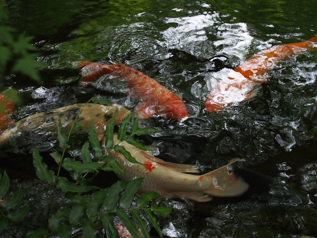 Koi in the garden at the Hotel New Otani, Tokyo