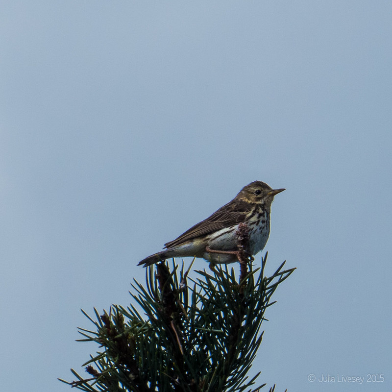Meadow Pipit (I think)