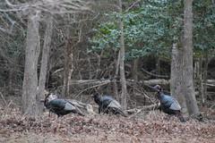Three Wild Turkeys