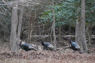 Three turkeys in the woods