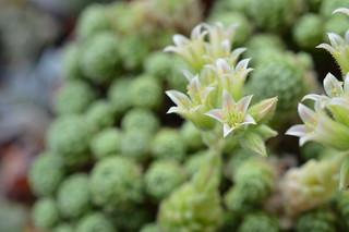 DSC_0013 Rosularia chrysantha ロスラリア・クリサンサ