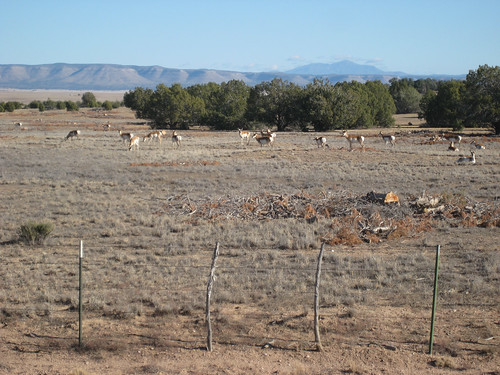 Pronghorn in Arizona