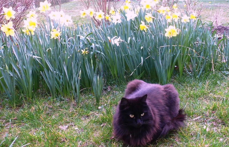 Nera with daffodils in garden
