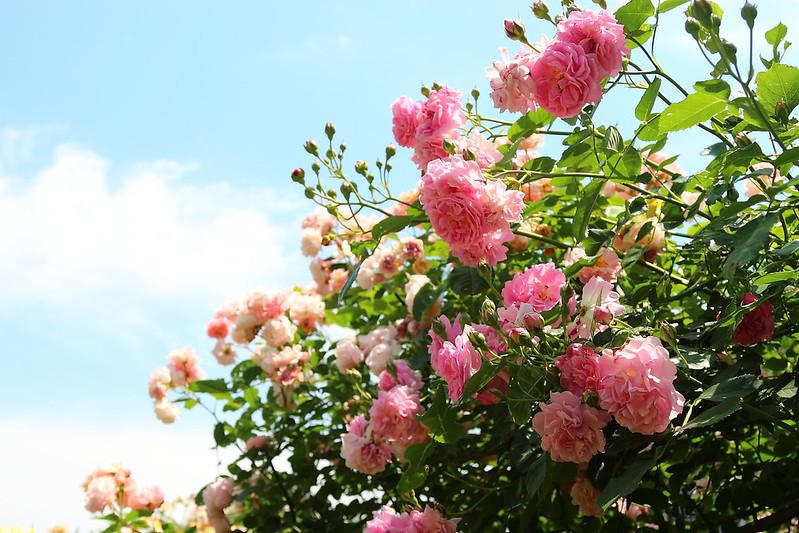 Rose:コーネリア