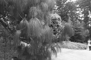 SF Botanical Garden - Apulca Pine