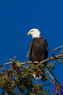 Bald Eagle | by DragonSpeed
