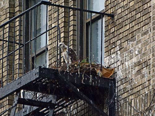 JHW Hawk Nestlings - 1862