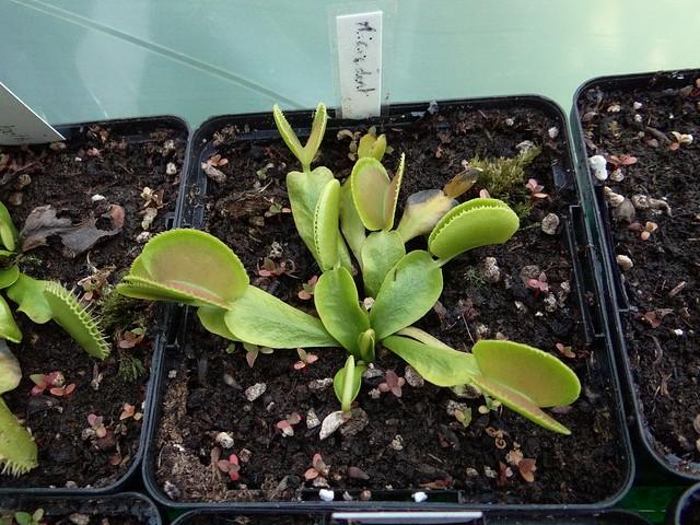 Dionaea muscipula 'Microdent'
