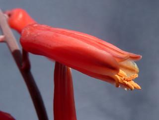 Aloe 'Donnie' 18427579398_82ec0e74eb_n